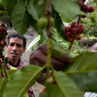 More about the Maubere Mountain Coffee project